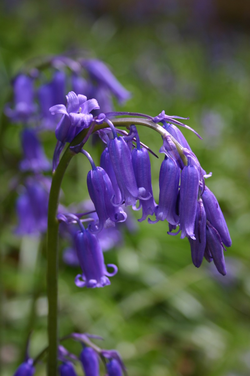 Bluebell. The flower stem forms part of a distinctive arch.
