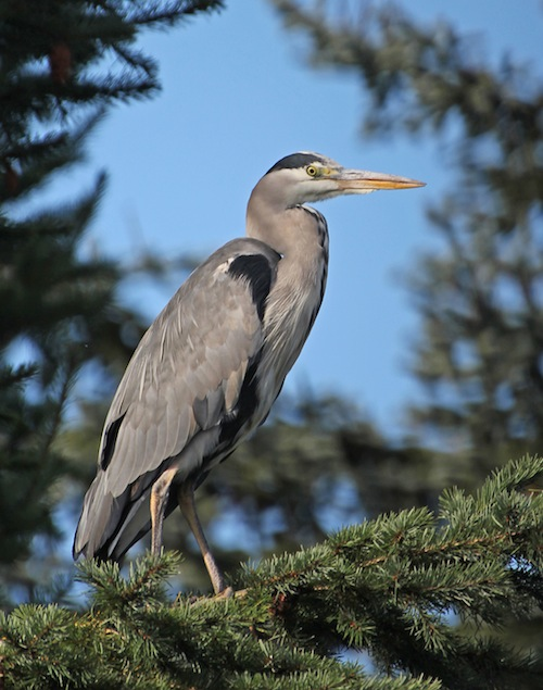 Heron in treetop. Again there is a mismatch between the foreground and background. The heron's beak and foreground both contain strong straight lines. The heron's body almost splits the photo into two equal triangles. The bottom left of a rectangle begins at the point level with the heron's right foot formed by continuing the diagonal of the triangle mentioned previously down through the tail. The rectangle extends above the heron's head forming a golden spiral in which some of the smaller rectangles intersect at the focal points of the beak and eye.